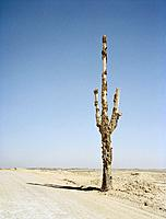 Dead cactus in desert, Baja California, Mexico