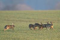 European hare Lepus europaeus, group on a field, Germany
