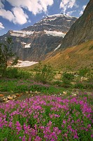 Mount Edith Cavell and fireweed, Jasper National Park, Alberta, Canada.