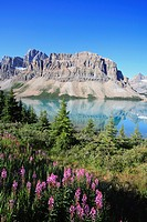 Fireweed at Bow Lake below Crowfoot Mountain, one of the most scenic photo locations along the world famous Icefields Parkway in Banff National Park i...