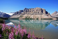 Fireweed on the shores of Bow Lake below Crowfoot Mountain and Crowfoot Glacier along the Icefields Parkway in Banff National Park, Alberta, Canada.