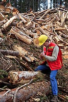 Forest worker examining beetle kill cutblock, Smithers, British Columbia, Canada.