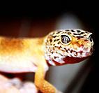 tangerine leoprd gecko