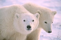 Polar bear cubs Ursus maritimus near Churchill, Manitoba, Canada