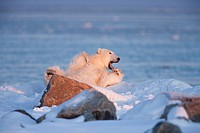 A Polar Bear Ursus maritimus laying on its back yawns on the coast of Hudson Bay near the Seal River estuary north of Churchill in Manitoba, Canada