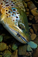Brown trout with artificial fly hooked in mouth