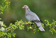 Band_tailed Pigeon Patagioenas fasciata on Hawthorn perch Crataegus monogyna Victoria, British Columbia, Canada