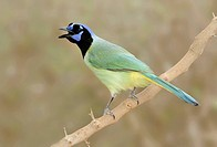 Green Jay Cyanocorax yncas _ Santa Clara Ranch, Texas, United States of America