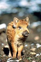 Wildboar in preserve, wildboar