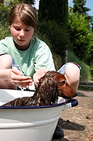 Long_haired Dachshund, Long_haired sausage dog, domestic dog Canis lupus f. familiaris, girl bathing a dog in a washbowl in the garden