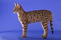 Savannah cat, Savannah Felis silvestris f. catus, standing