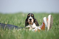 Basset Hound Canis lupus f. familiaris, eight weeks old whelp lying in a meadow on the kegs of a person wearing jeans and gym shoes, Germany