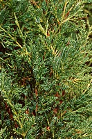 Chinese juniper Juniperus chinensis ´Pfitzeriana´, Juniperus chinensis Pfitzeriana, Juniperus pfitzeriana, branches