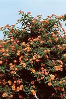 lantana Lantana camara ´Radiation´, Lantana camara Radiation, blooming