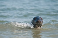 gray seal Halichoerus grypus, female swimming, looking out of the water, Germany, Schleswig_Holstein, Heligoland