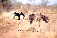 Pair of ostrichs with fledgling walking on a way, Kenia, Africa