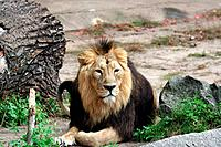 Portrait of noble male lion.