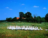 A flock of geese in front of a farm, Poland, Mazovia