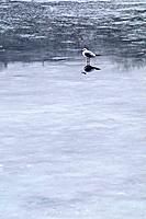 Sea gull on a frozen lake in winter