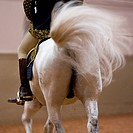 Lippizaner horse Equus przewalskii f. caballus, rider on a horse at the Spanish Riding School, from behind in motion, Austria, Vienna