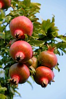 pomegranate, anar Punica granatum, fruits at a brunch, Italy, Lake Garda