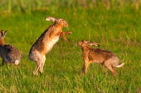 European hare Lepus europaeus, two hares fighting in mating season, Austria, Burgenland
