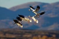 snow goose Anser caerulescens atlanticus, Chen caerulescens atlanticus, fpur individuals landing, USA, New Mexico, Bosque del Apache Wildlife Refuge