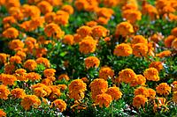 Bed of Orange Marigold Flowers
