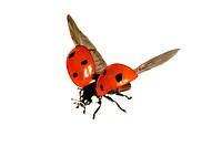 seven_spot ladybird, sevenspot ladybird, 7_spot ladybird Coccinella septempunctata, Ladybird flying, Austria