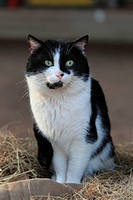 domestic cat, house cat Felis silvestris f. catus, sitting in hay
