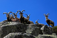 Spanish ibex Capra pyrenaica victoriae, group on a rock, Spain, Sierra De Gredos
