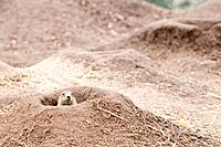 Prairie dogs Cynomys are burrowing rodents native to the grass