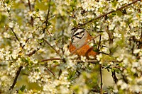 rock bunting Emberiza cia, sitting on a branch, Germany, Rhineland_Palatinate
