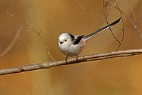 long_tailed tit Aegithalos caudatus, sitting on a twig, Germany, Rhineland_Palatinate