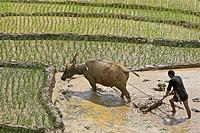 Farmer with buffalo plough tills rice terraces near Sapa Vietnam