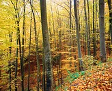Autumnal forest, Vosges mountains, Alsace, France