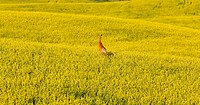 Deer running in canola mustard field