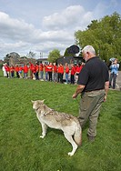 European gray wolf Canis lupus lupus, visit of two tame animals from the UK Wolf Conservation Trust, Oxon, at a basic school, United Kingdom, England
