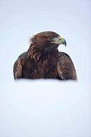 golden eagle Aquila chrysaetos, half covered by a snowbank