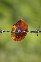 Barbed Wire and Leaf