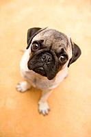 Pug Looking Up