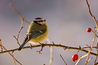 blue tit Parus caeruleus, sitting on a rose twig in winter, Switzerland, Sankt Gallen