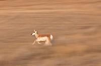 Pronghorn Antelope Saskatchewan Canada