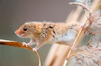 Harvest Mouse Micromys minutus, climbing in reed, Bavaria