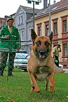 Malinois Canis lupus f. familiaris, dog handler training with a police dog which is persecuting a person