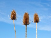 three teasels