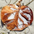 Close up of sea grape leaf on the beach
