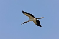 Wood Stork flying over Florida