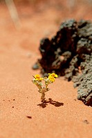 yellow composite blooming in red desert sand, USA, Utah