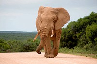 Elephant in Addo Park